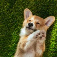 cute corgi in grass