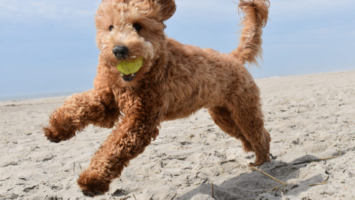 Goldendoodle Breeders: How Do You Know Which Ones To Trust?