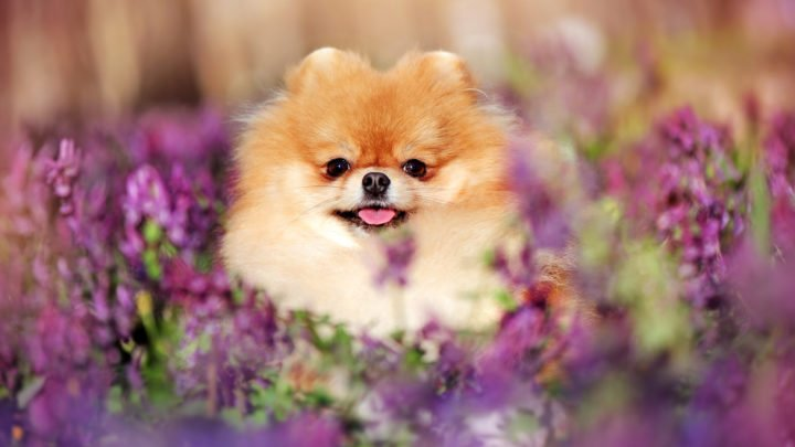Pomeranian Rescues: The Best Places To Find Your Pom Puppy