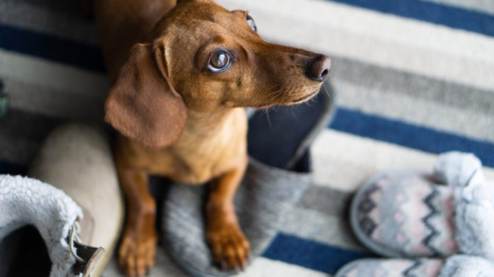 What Is The Best Dog Food For Dachshunds? (Top 12 Products Reviewed)