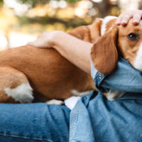 dog resting on owners lap