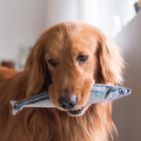 retriever holding a fish in mouth