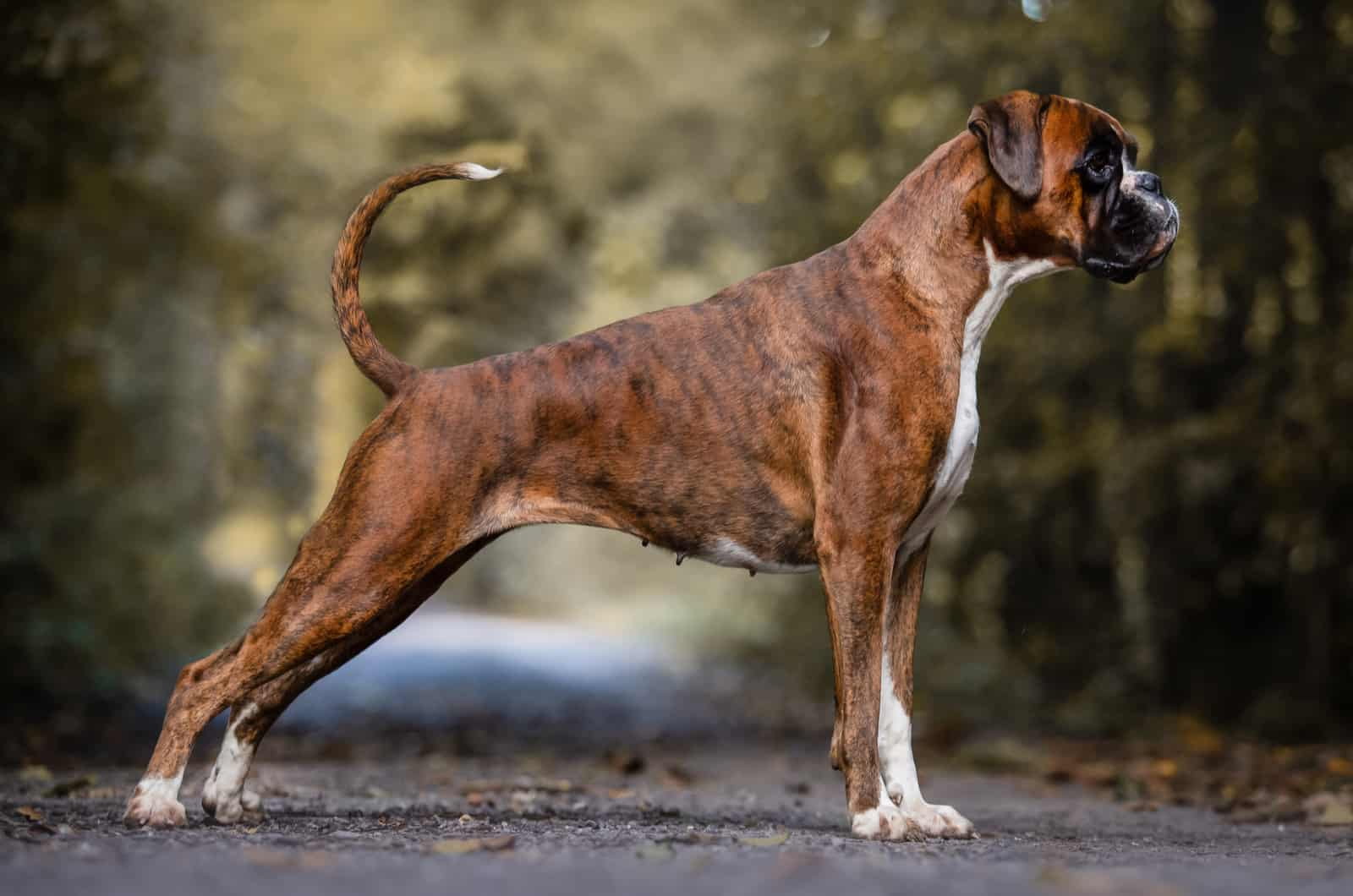 adult boxer dog standing
