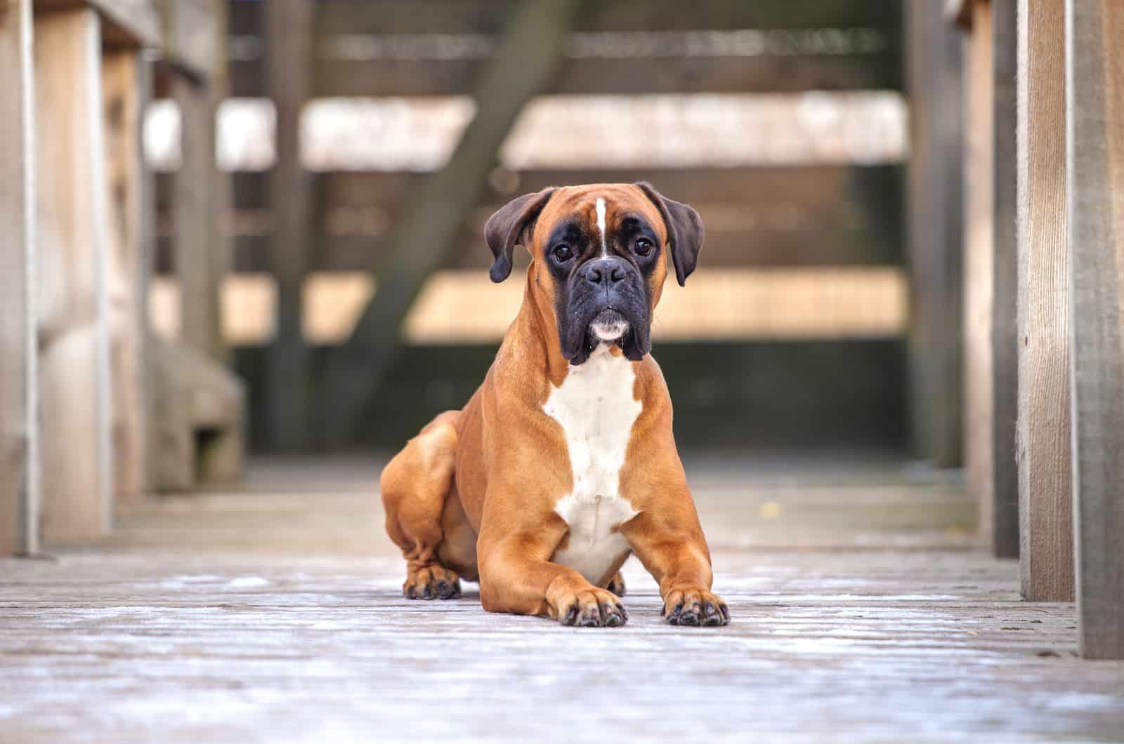 adult brown boxer dog