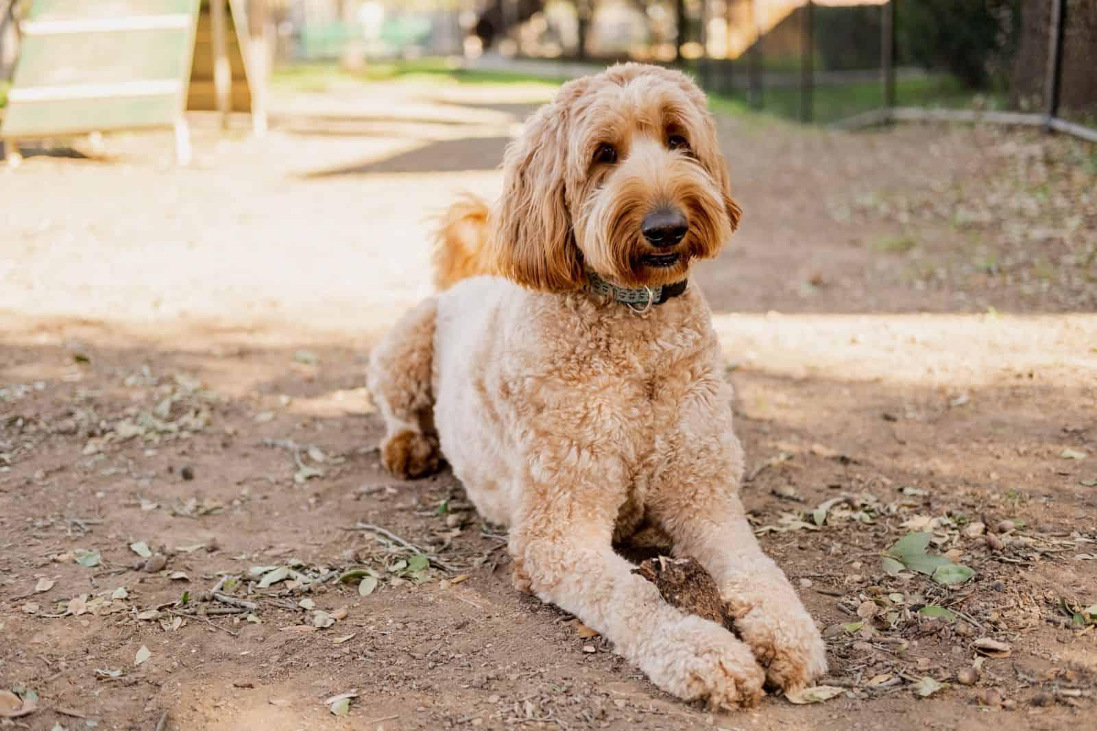 adult goldendoodle dog