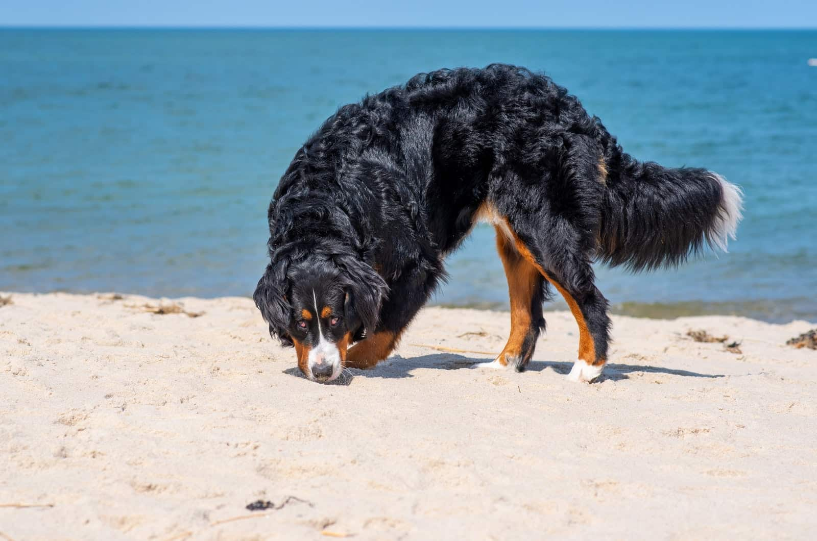 bernedoodle at the beach