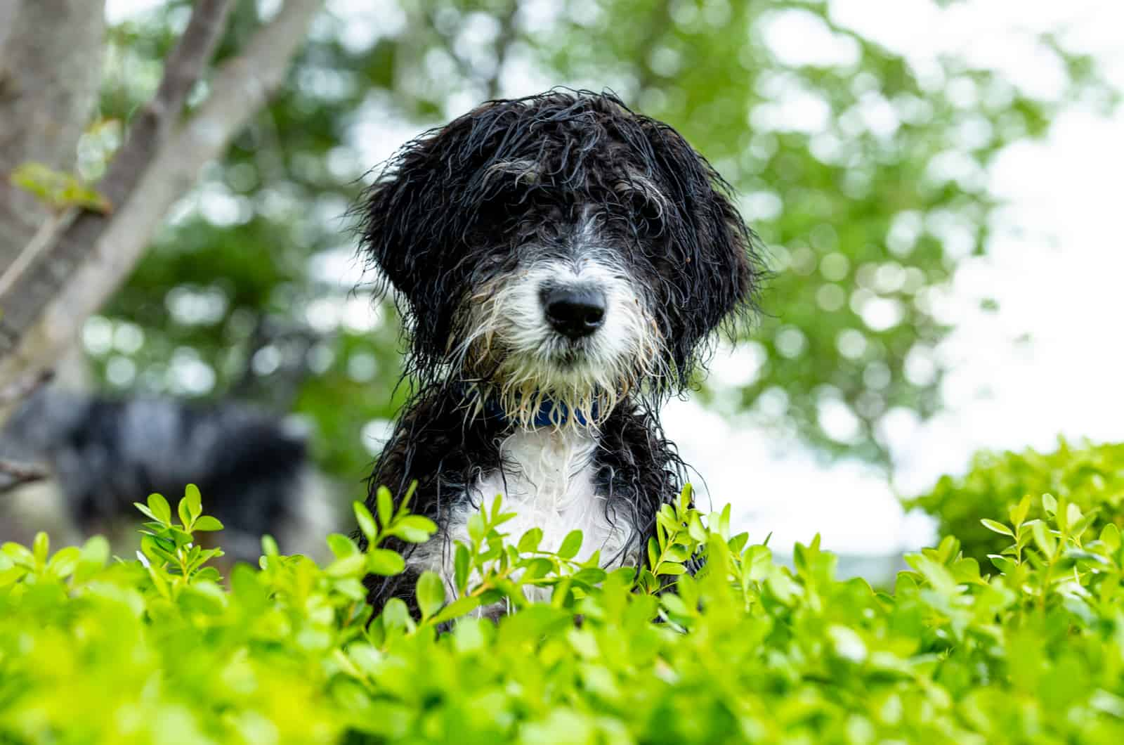 bernedoodle dog posing in front of green plants