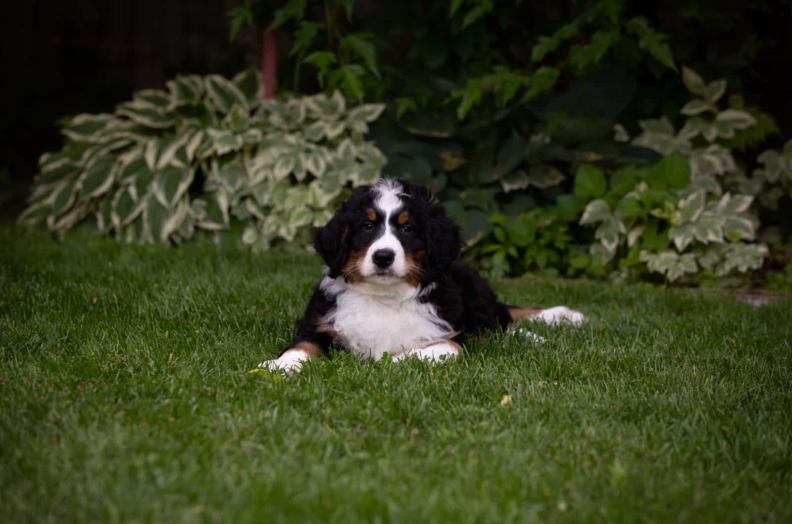 bernedoodle in green grass