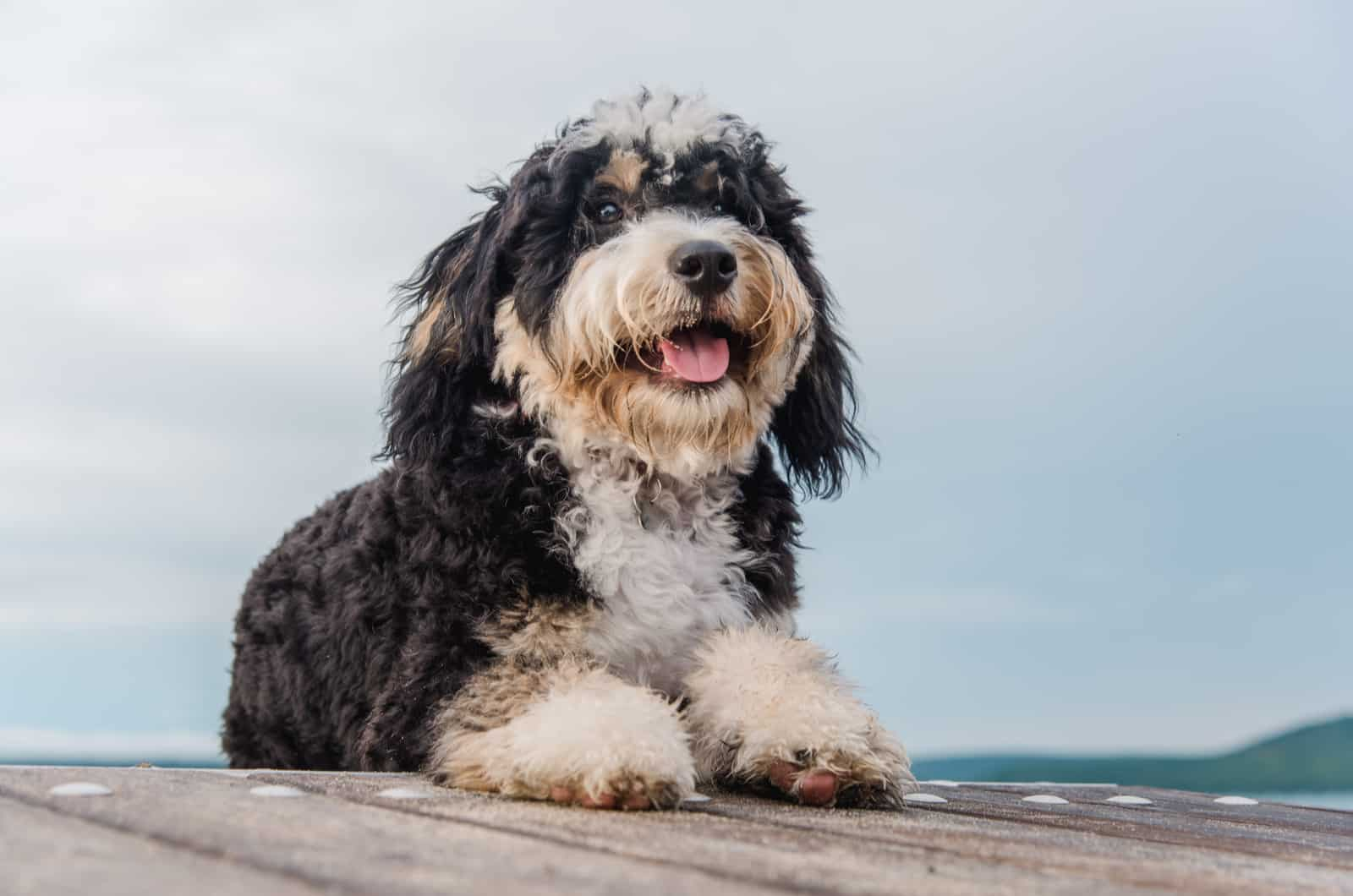 bernedoodle outdoors