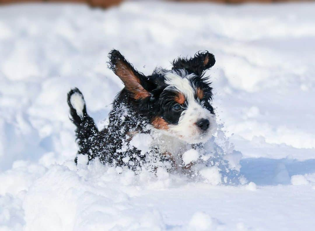 bernedoodle running through snow