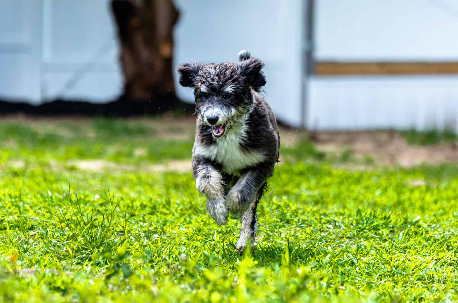 bernedoodle running