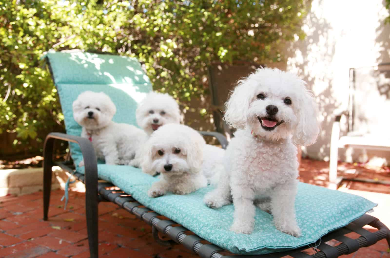bichon frise dogs resting on a chair