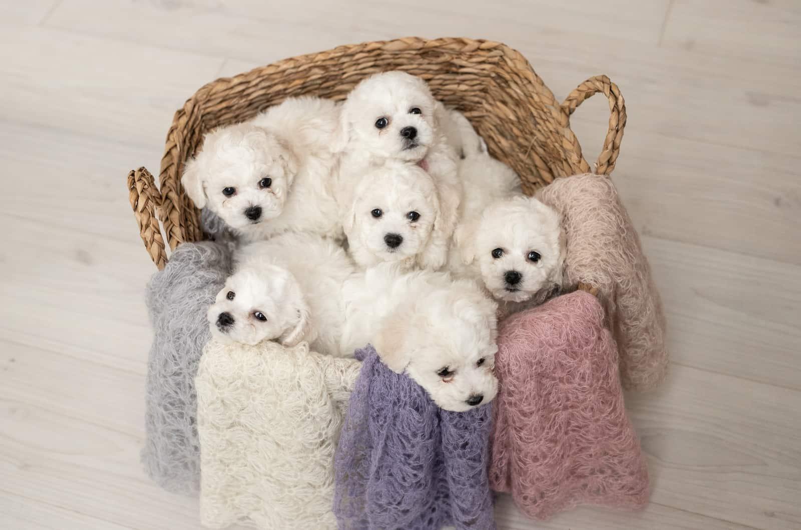 bichon frise puppies in a basket
