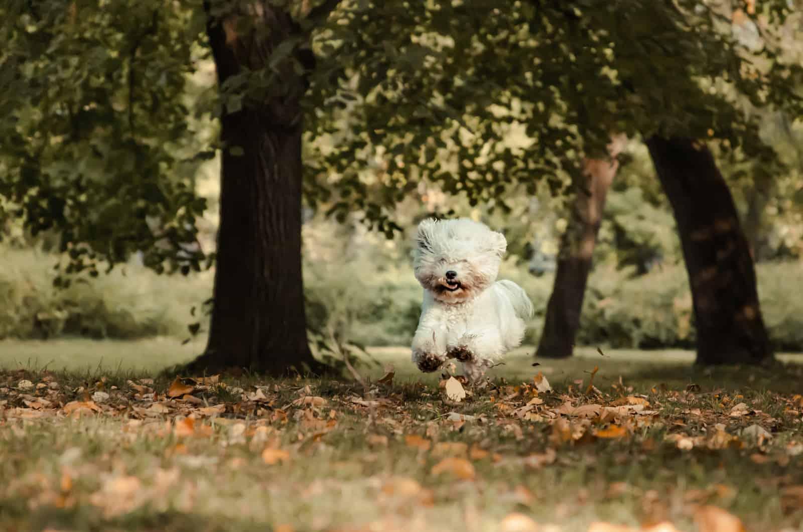 bichon frise running through park