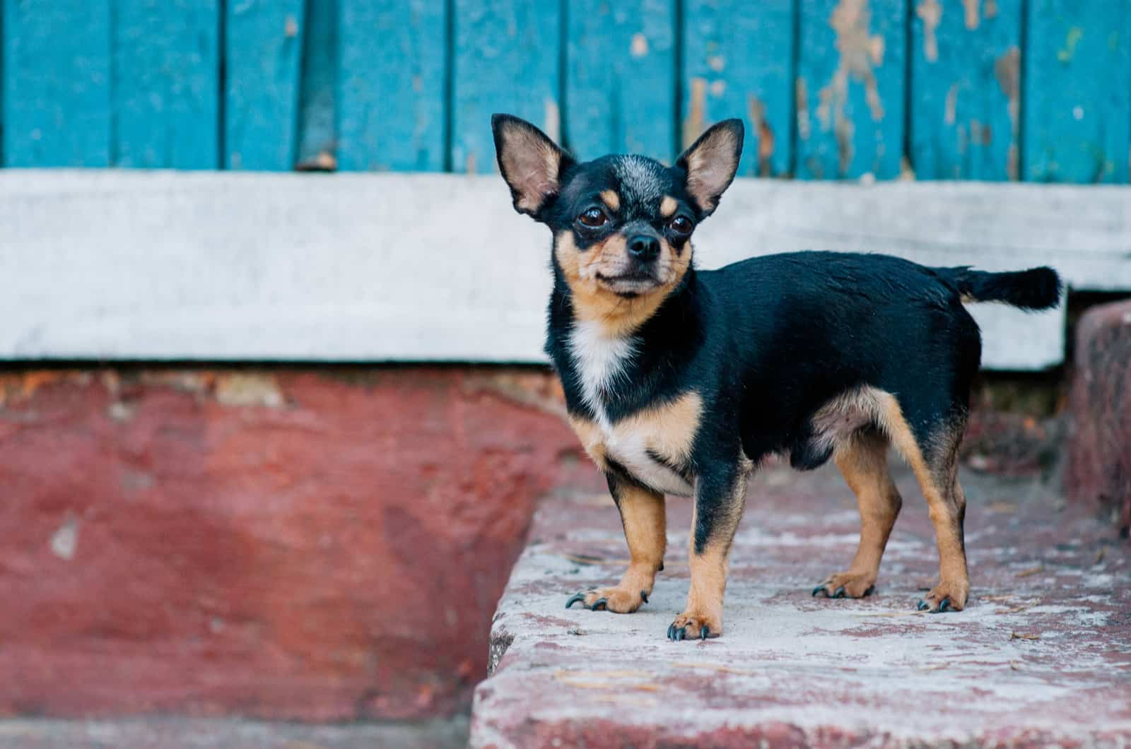 black and fawn chihuahua