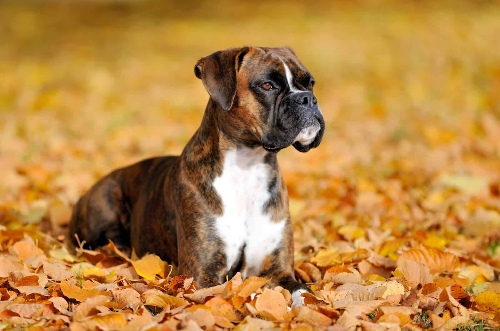 boxer dog lies in leaves