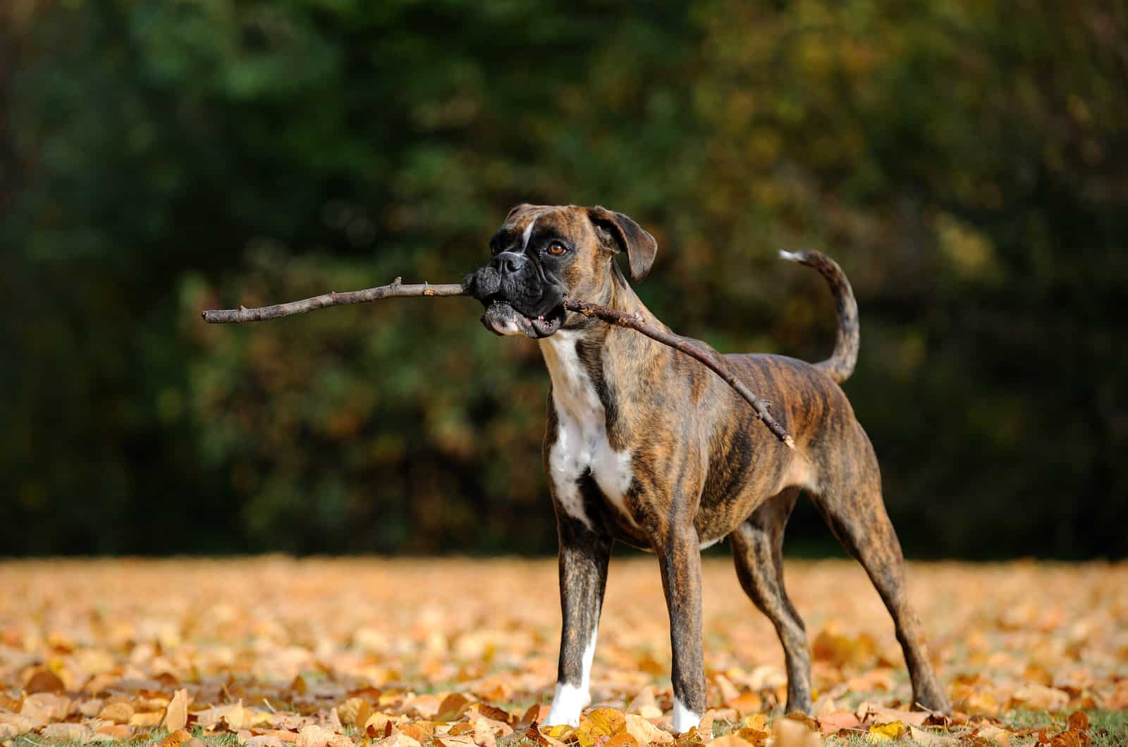 boxer holding a stick