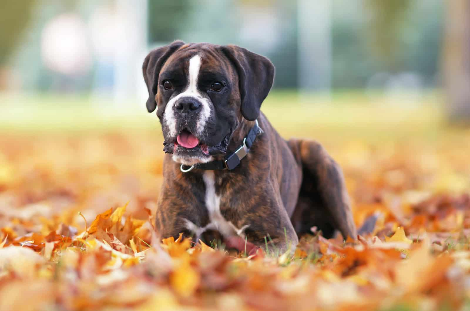 boxer lies in autumn leaves