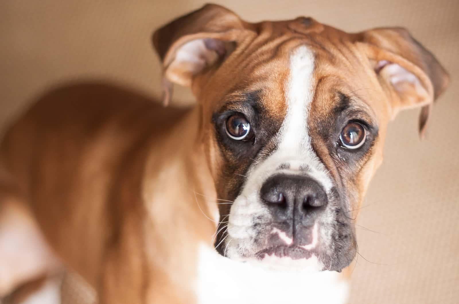 boxer puppy close-up photograph