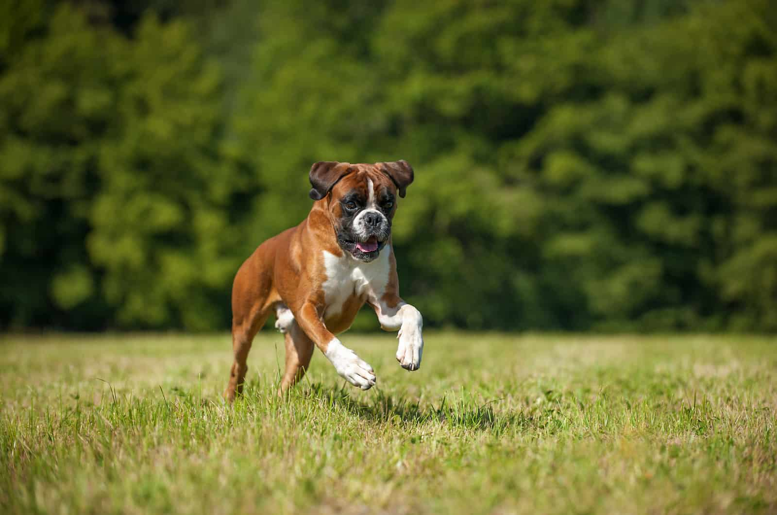 boxer running through field