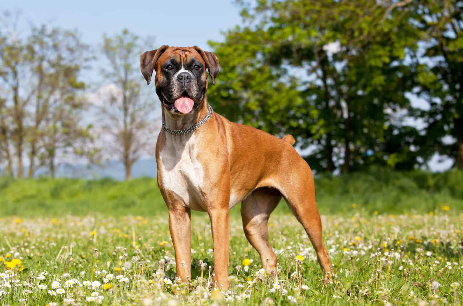 boxer standing in grass