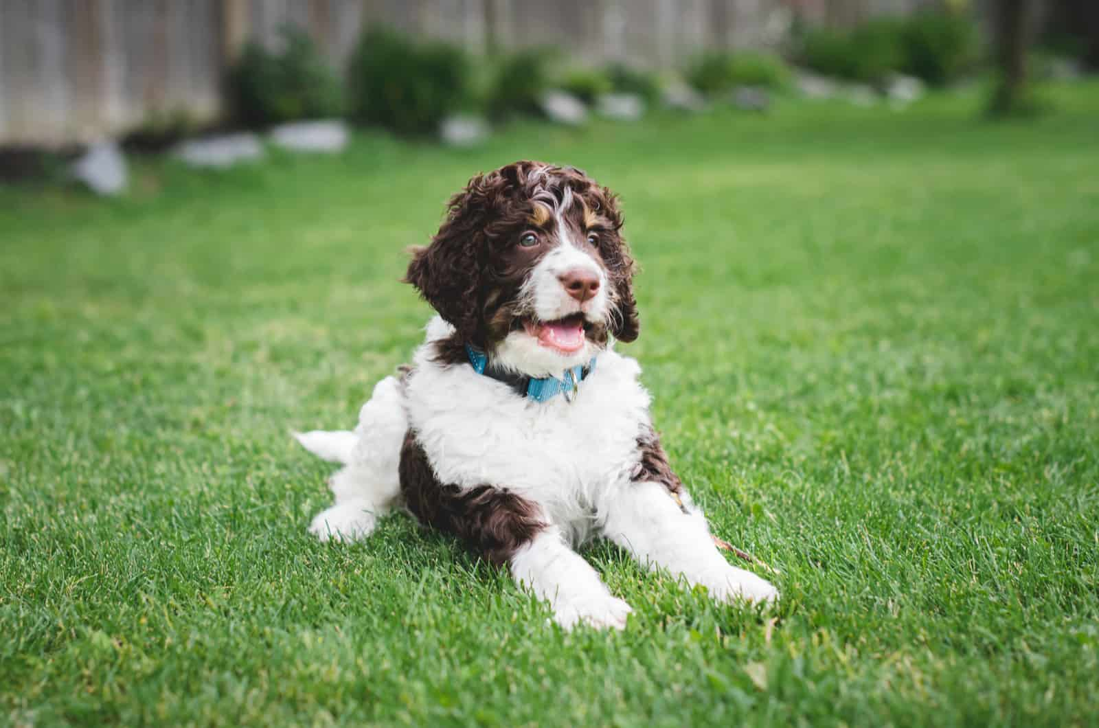 brown and white bernedoodle