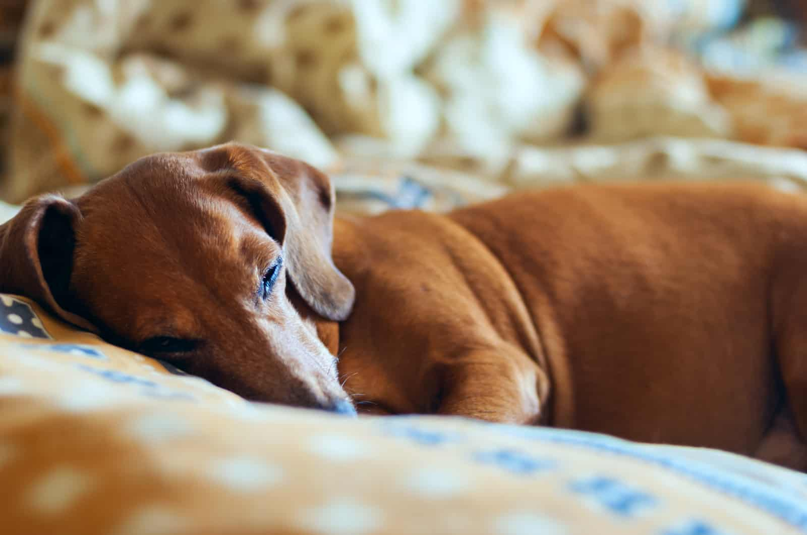 brown dachshund napping in bed