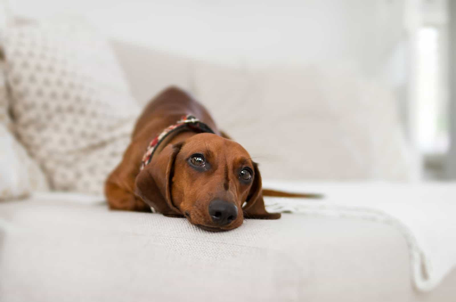 brown dachshund on a couch