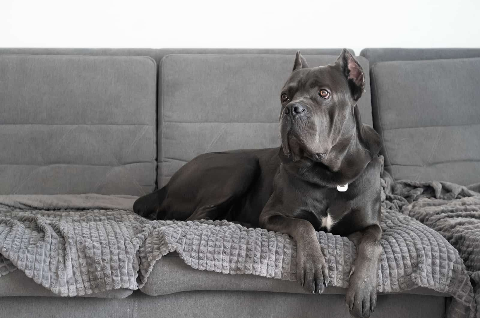 cane corso lying on couch