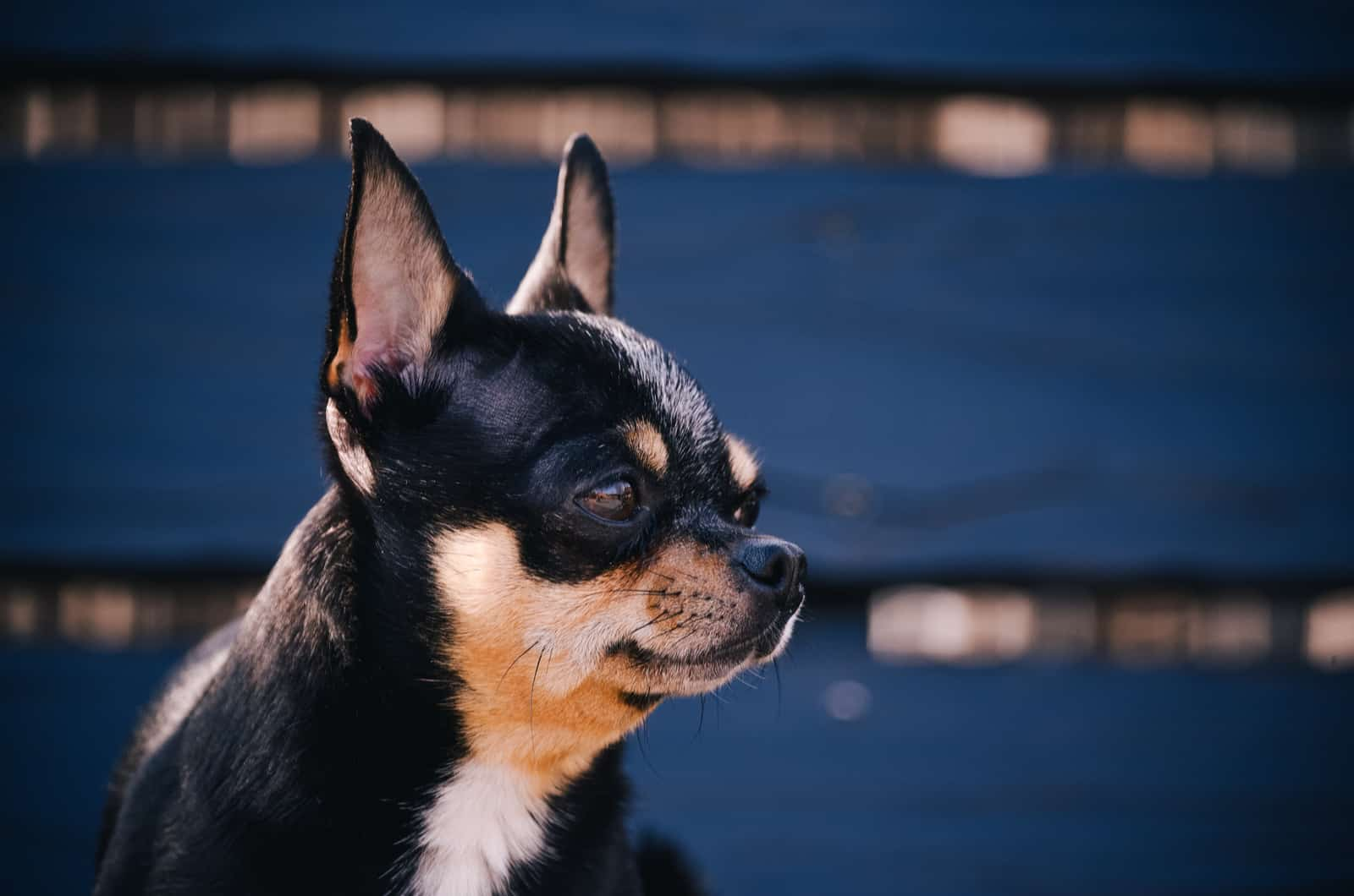 chihuahua looking to the side