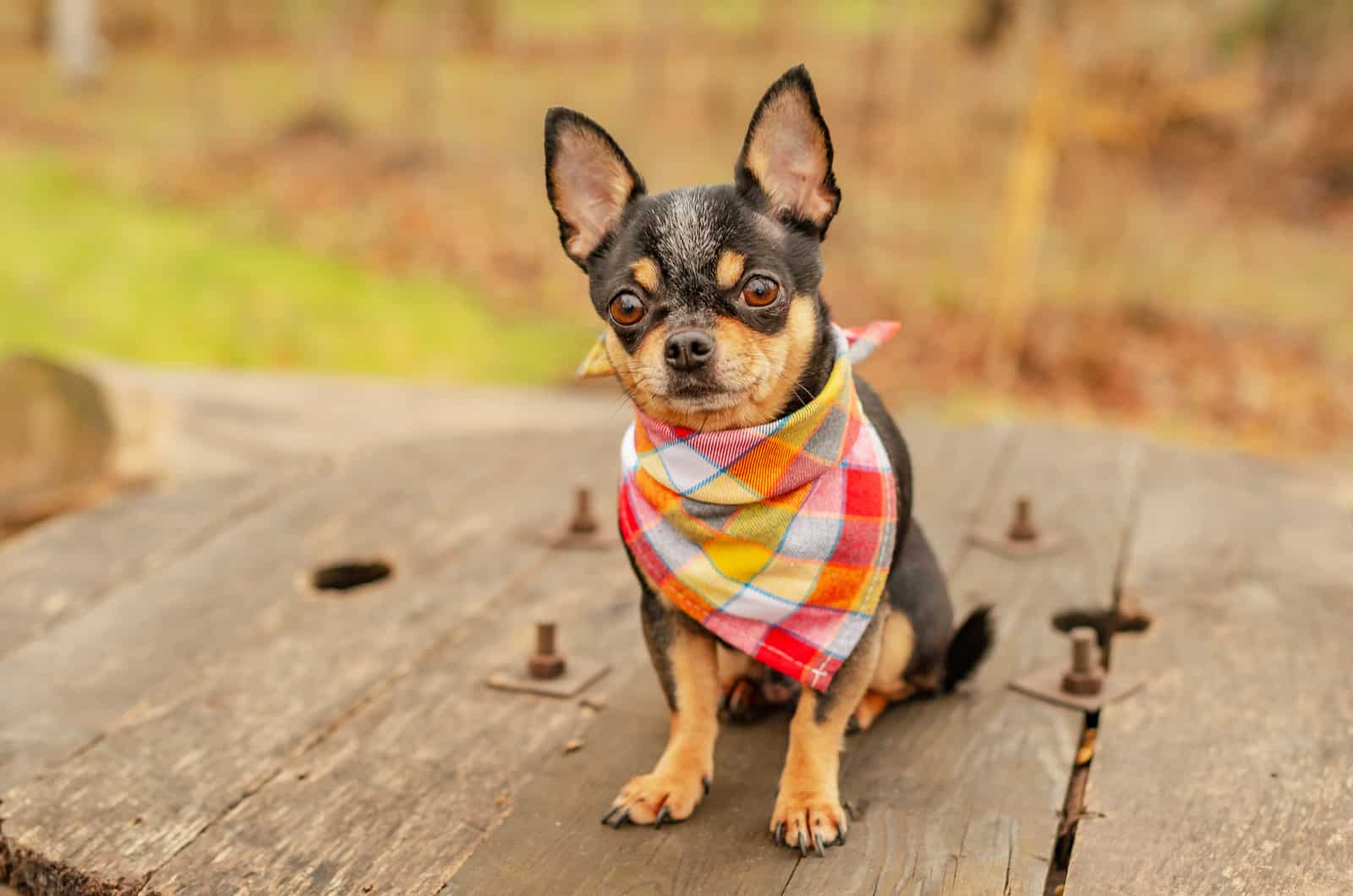 chihuahua with a bandana