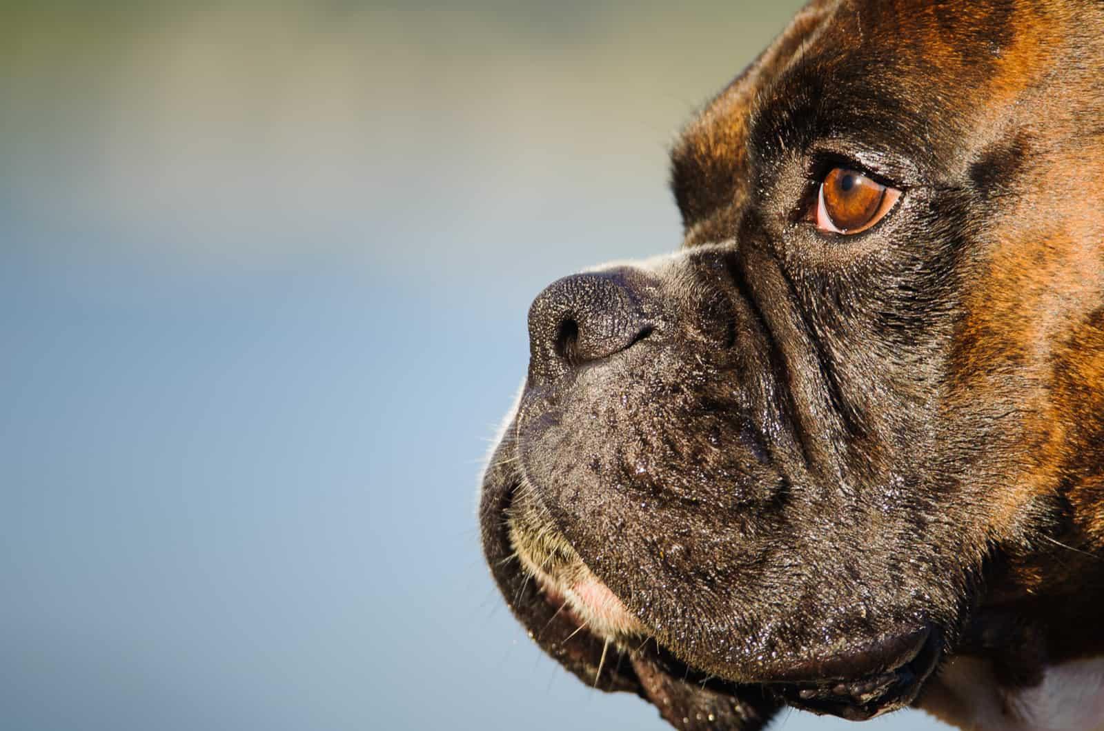 close-up photograph of a boxer dog's face
