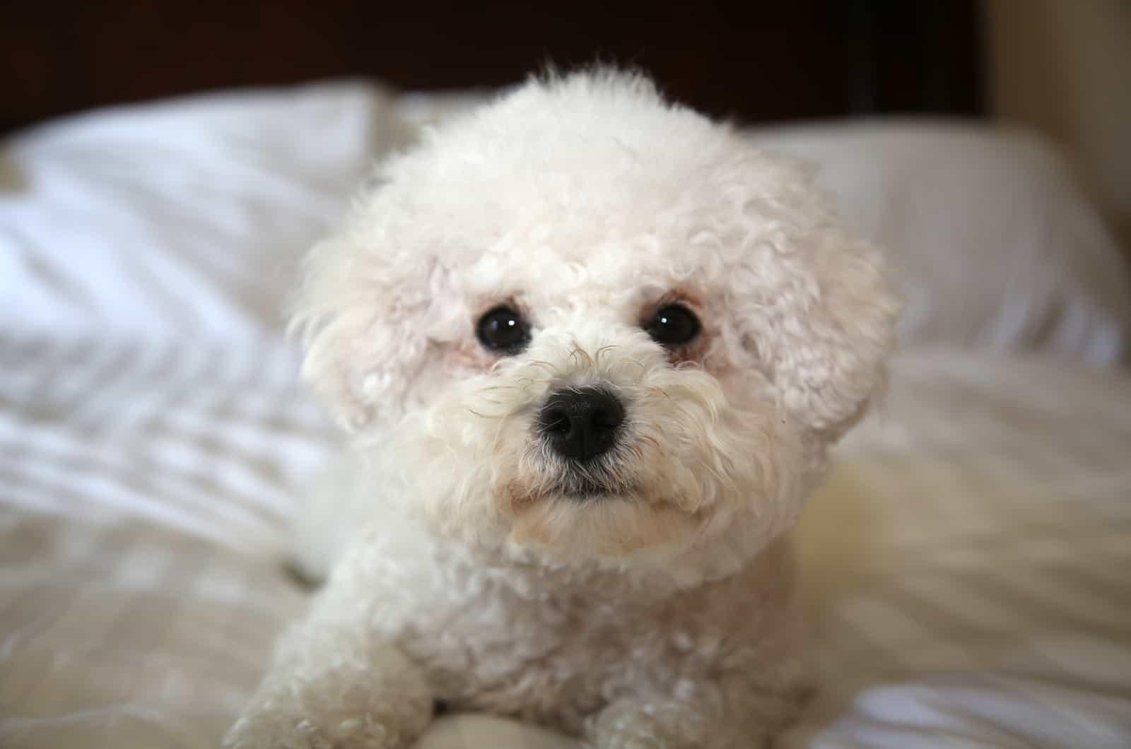 cute bichon frise dog