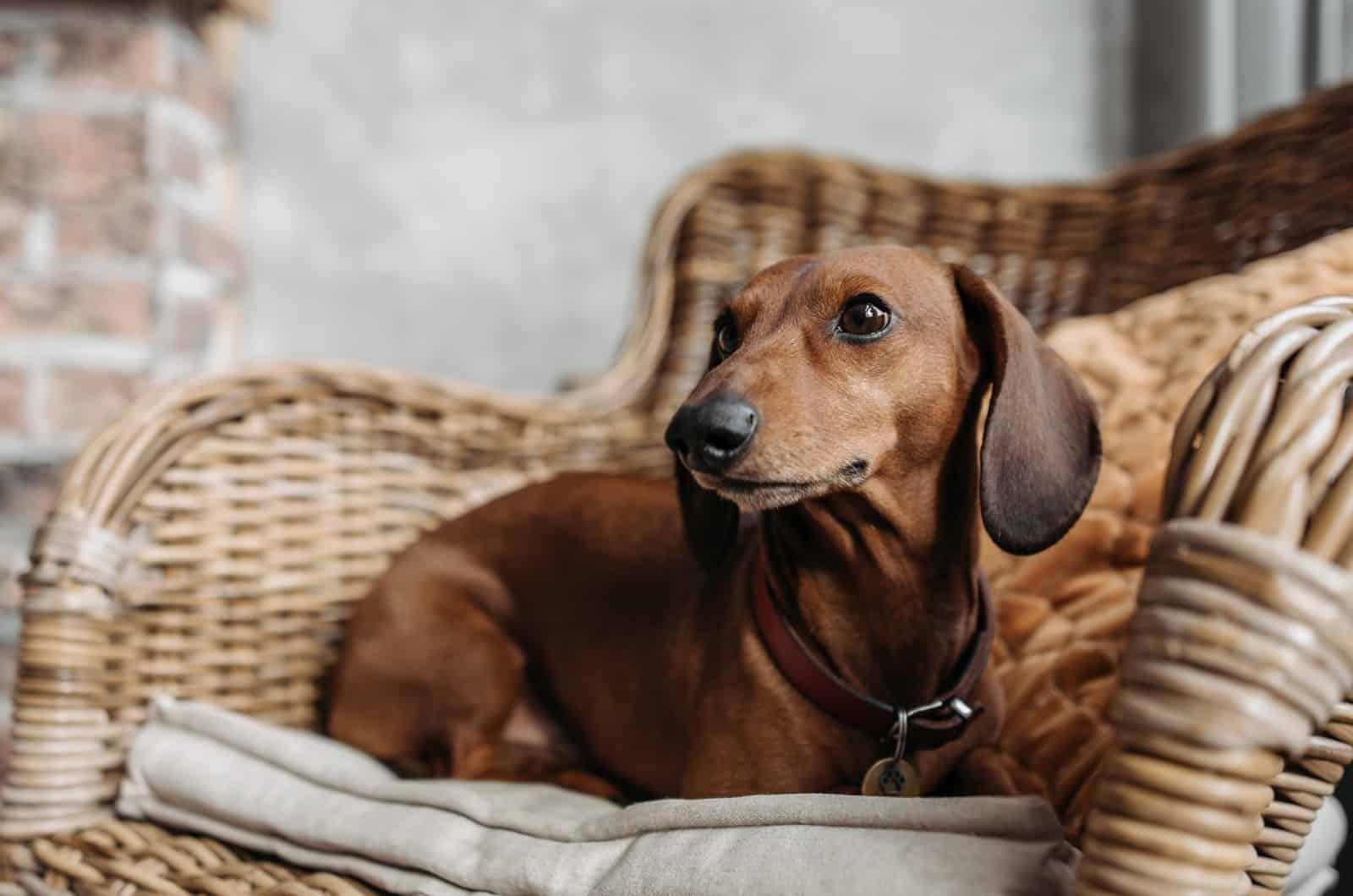 dachshund on a chair
