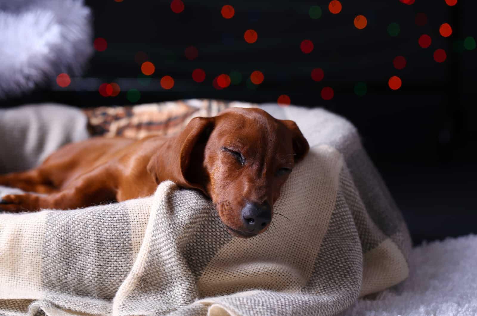 dachshund sleeping in dog bed