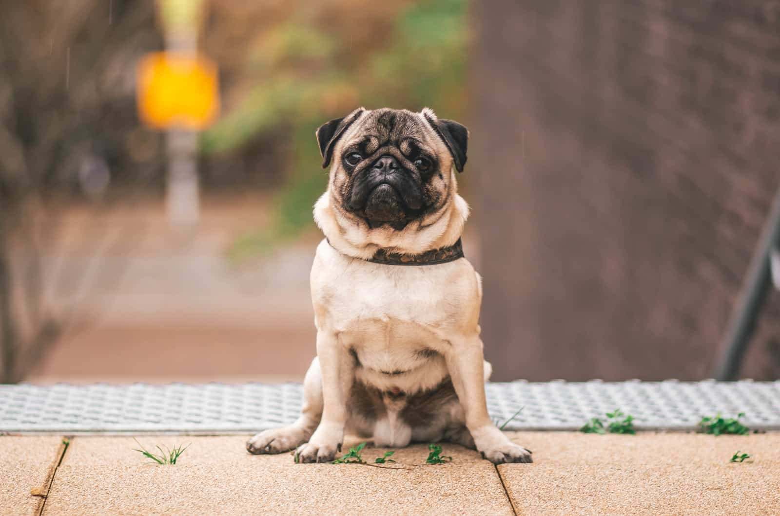 fawn pug photographed on the street