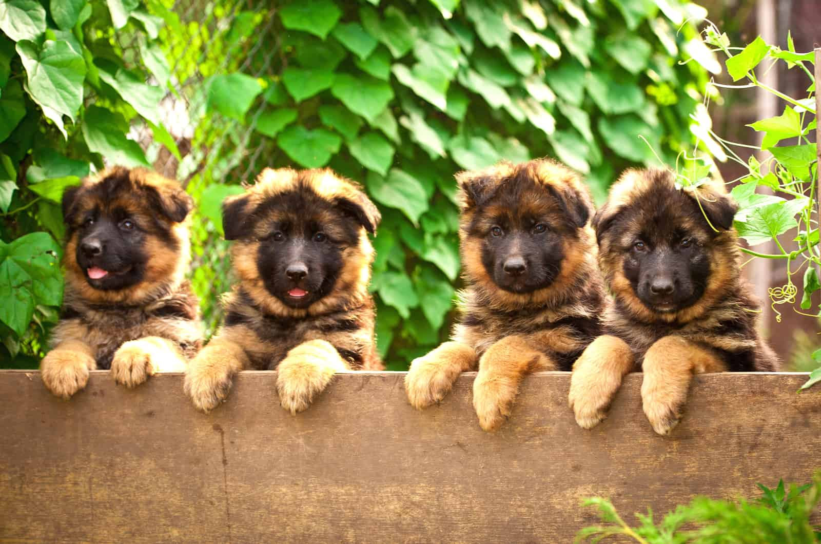 four german shepherd puppies looking over the fence