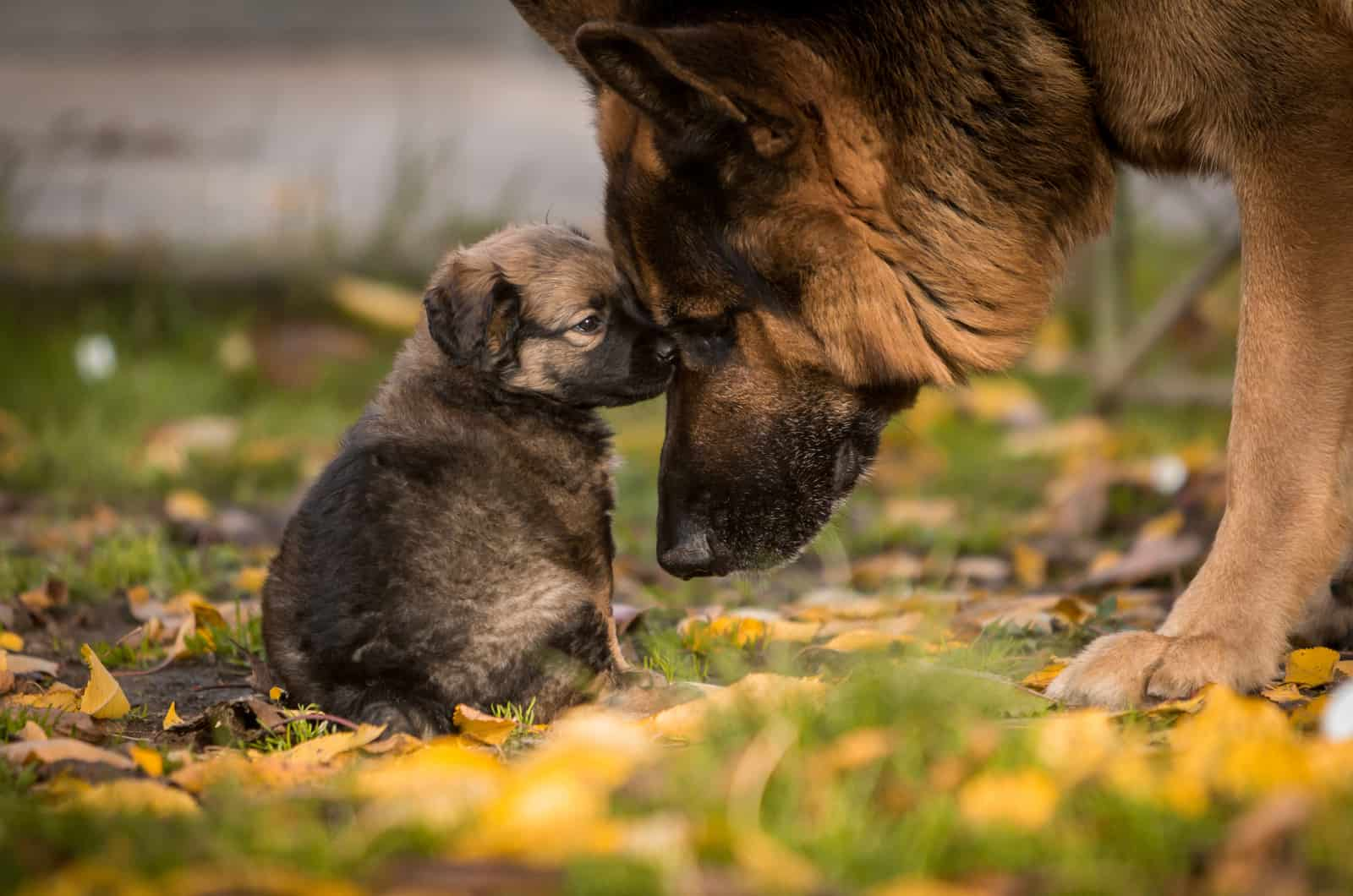 german shepherd and its puppy