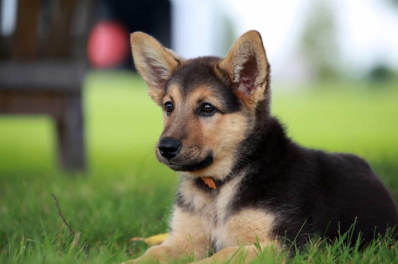 german shepherd puppy wearing a collar