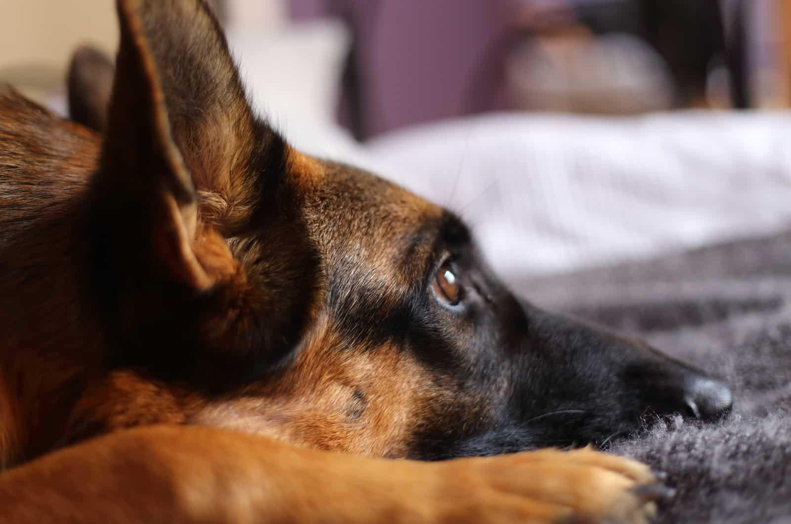 german shepherd resting
