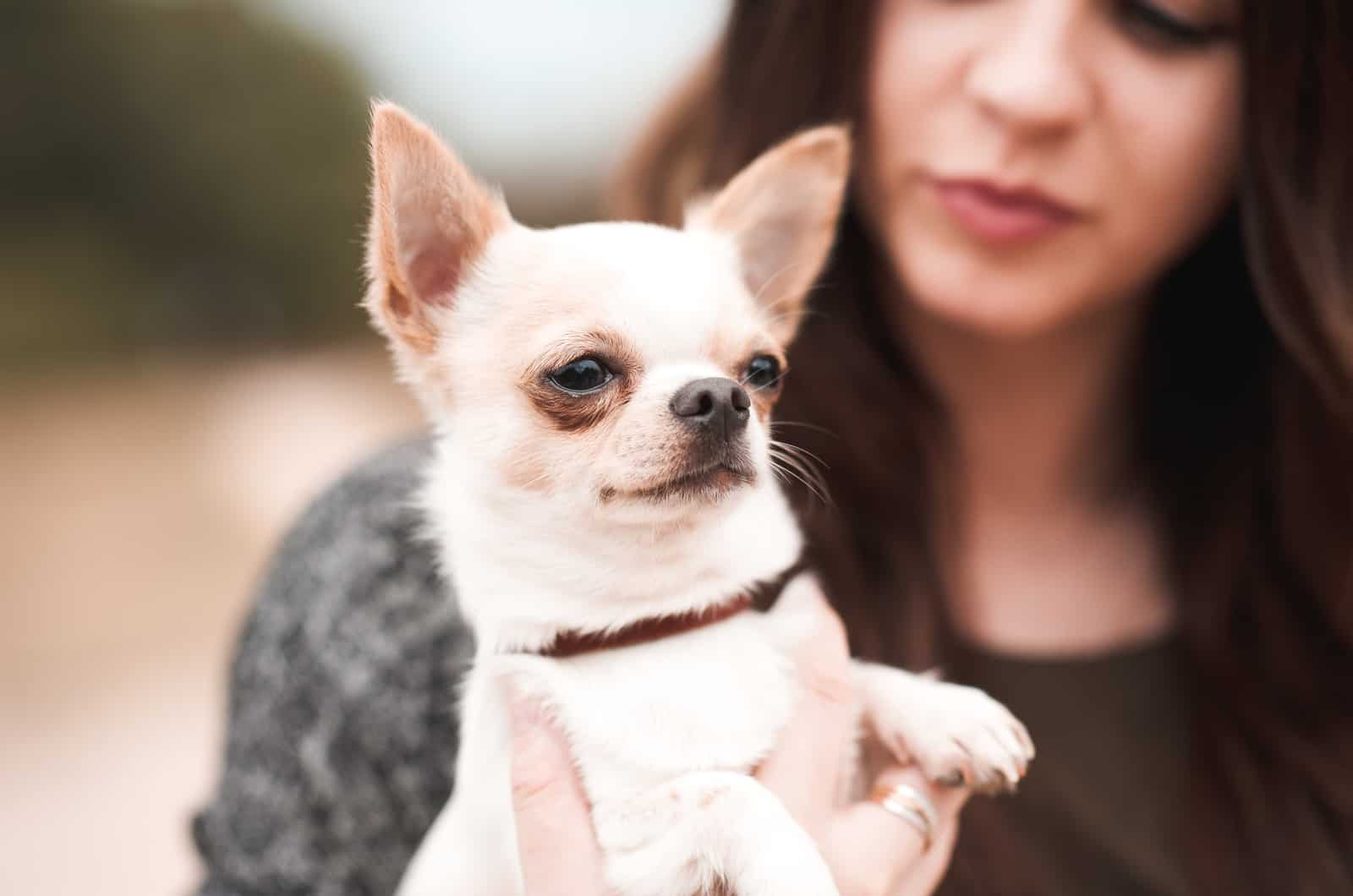 girl holding her chihuahua pet