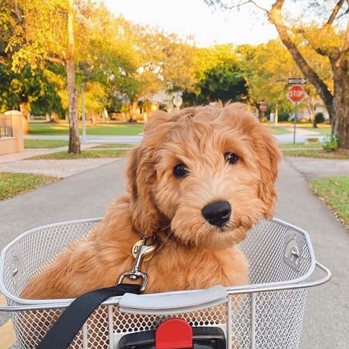 goldendoodle in a bike basket