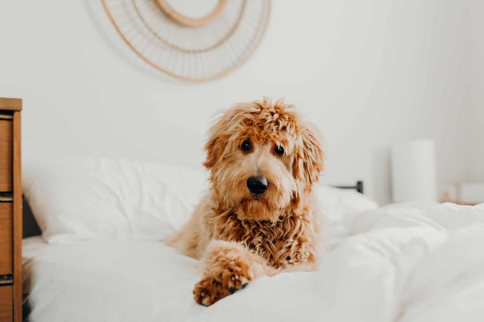 goldendoodle on bed