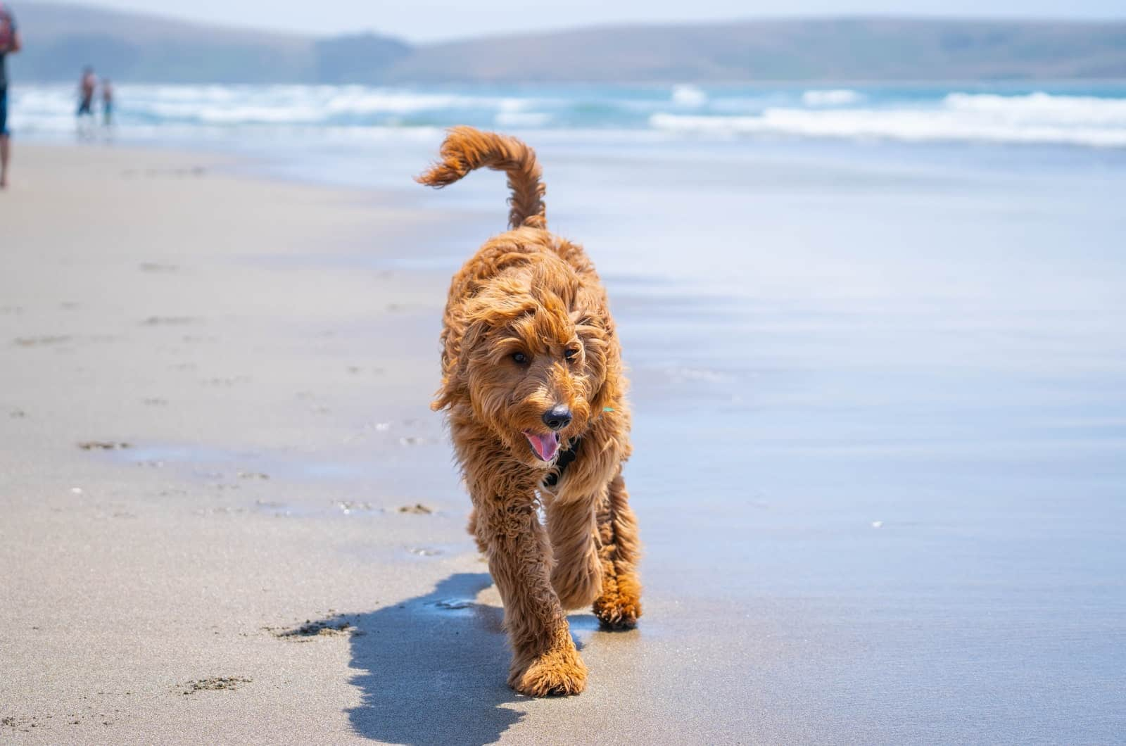 goldendoodle on the beach