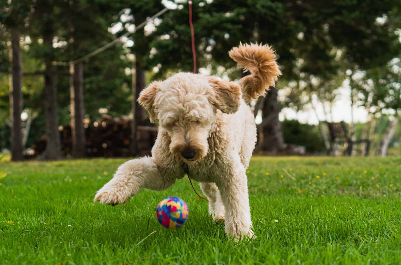 goldendoodle playing in grass