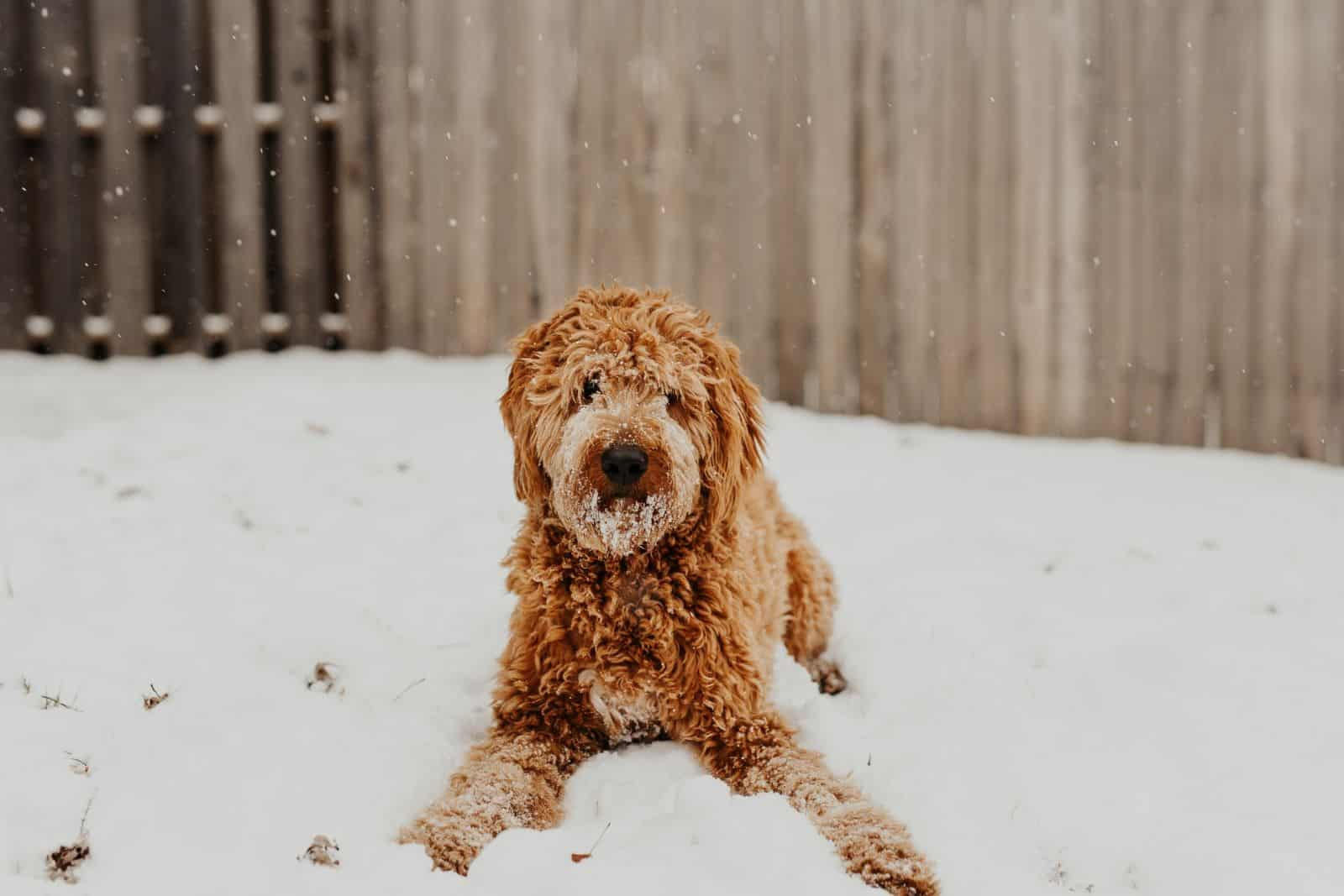 goldendoodle playing in snow
