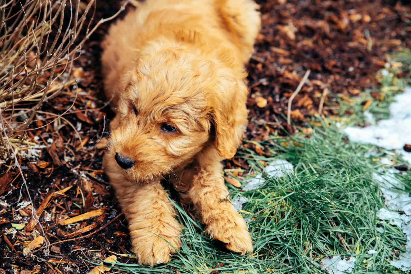 goldendoodle puppy in yard