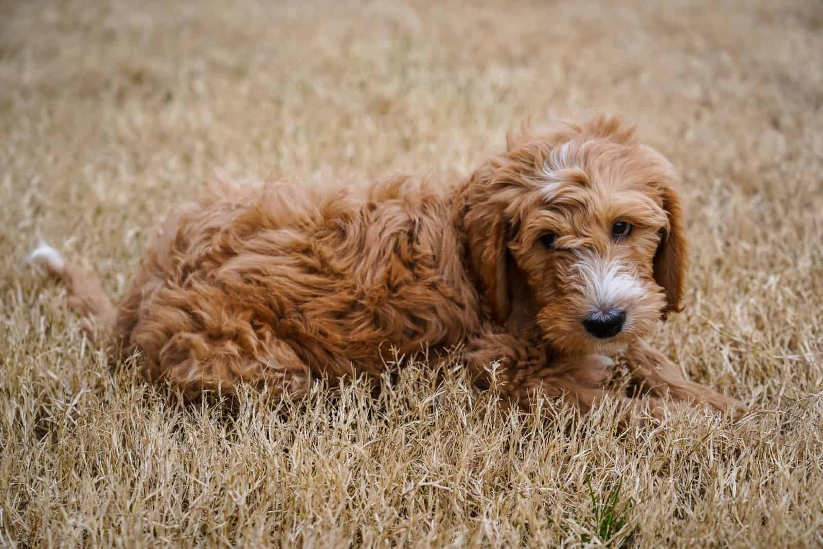 goldendoodle puppy in yellow grass