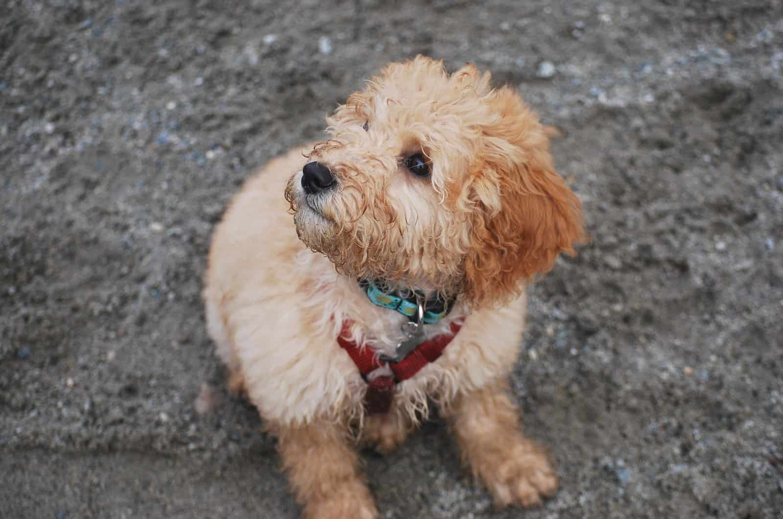 goldendoodle puppy with a collar