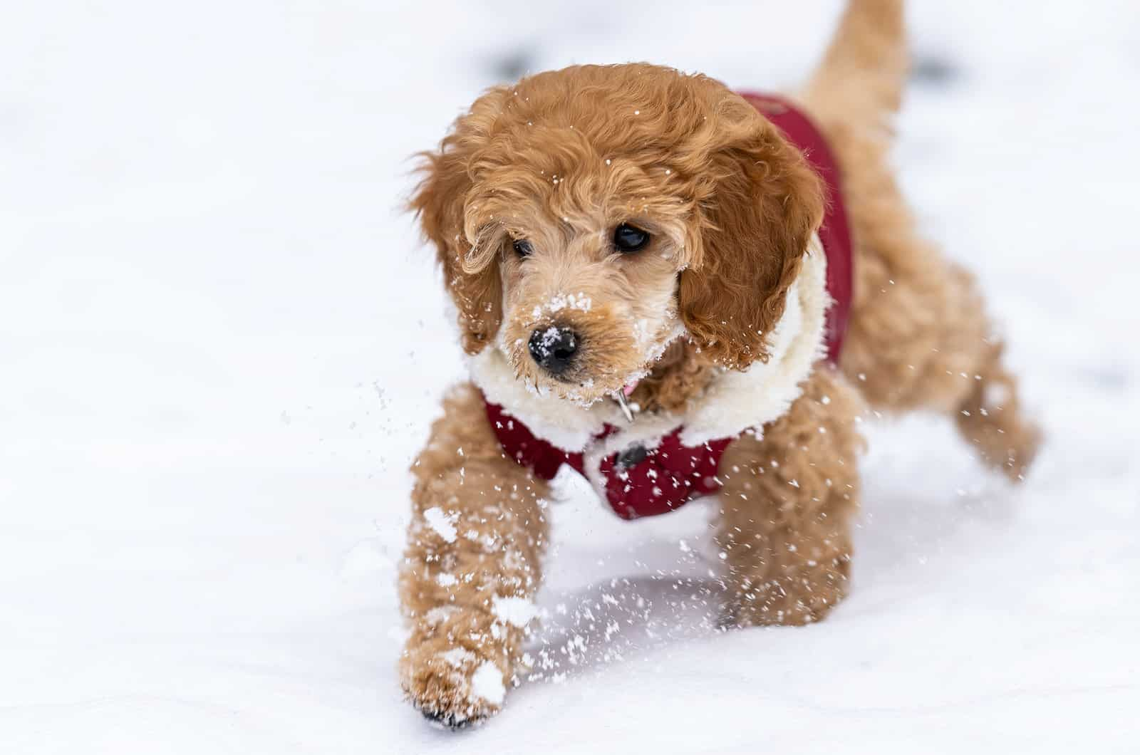 goldendoodle with a costume in snow